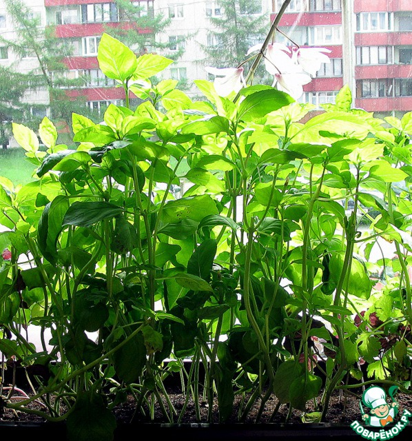 А это наш базилик. Правда, он сейчас значительно вырос. Иногда в песто добавляем и сельдерей со своего огорода. Этим рецептом никого не удивишь, но всё же...